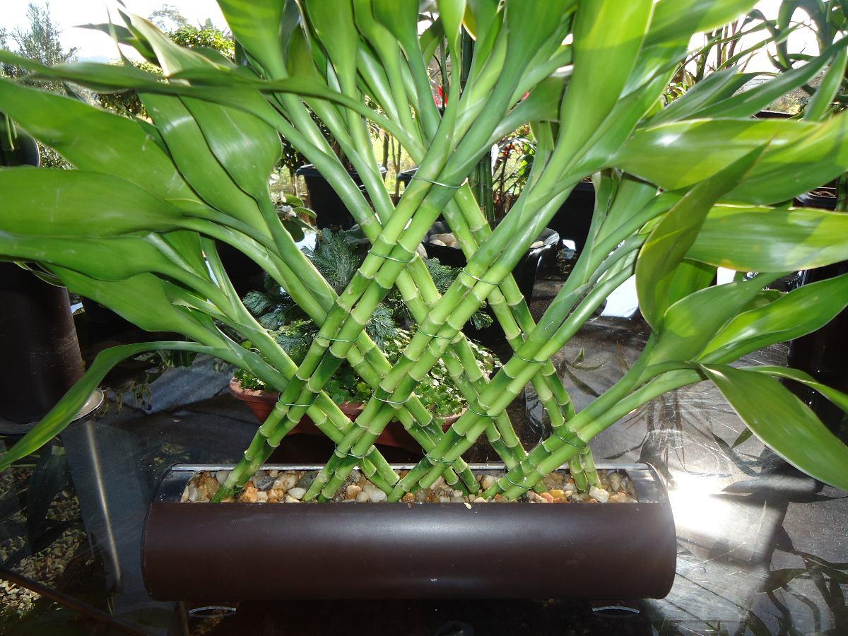 bambu-da-sorte