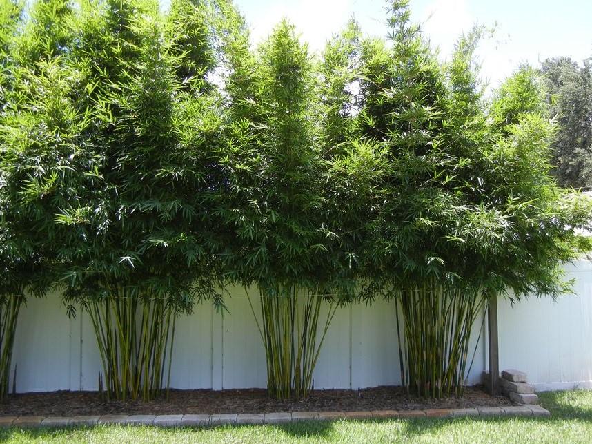 bambu-de-jardim