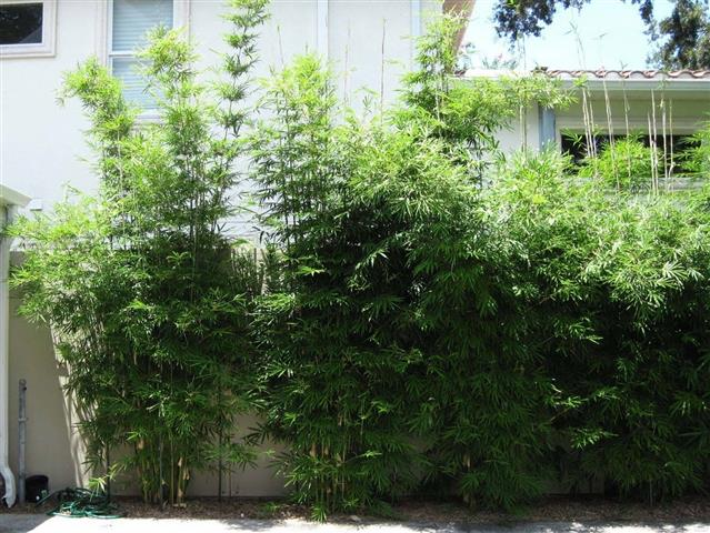bambu-de-jardim_1