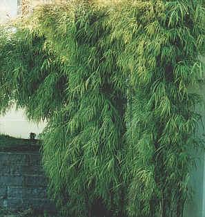 bambu_amarelo