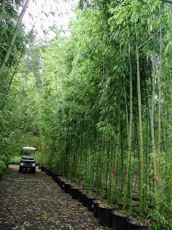 bambu_mossô