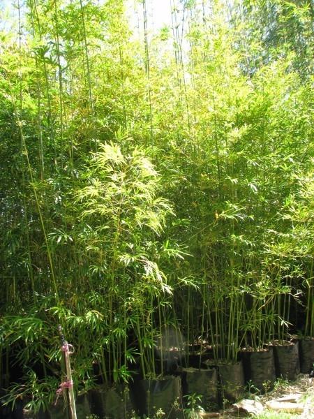 bambumossô