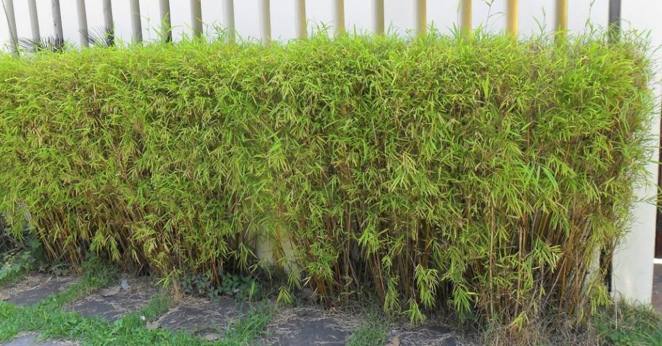 bambuzinho-de-jardim-bambusa-textilis-gracilis
