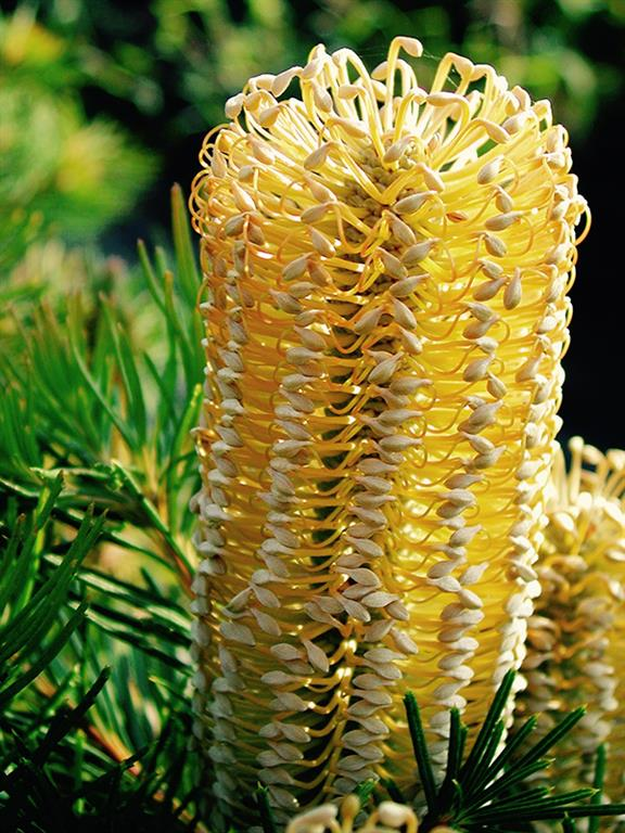 banksia-candles
