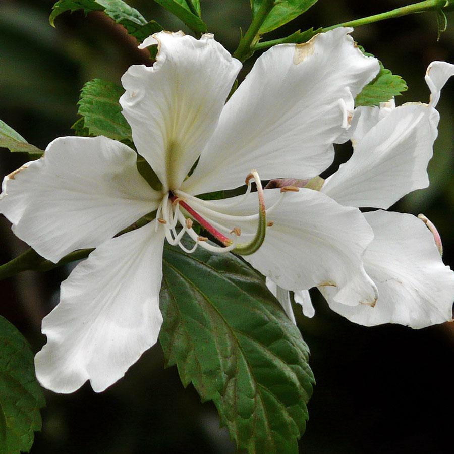 bauhinia-variegata-alb