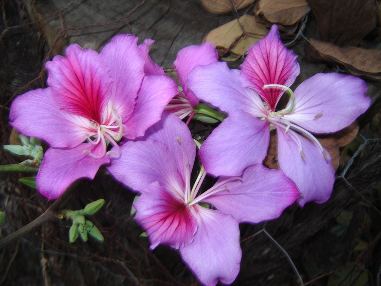 bauhinia-variegata