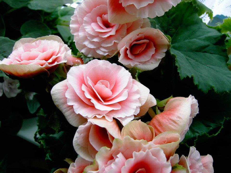 begônias rosa