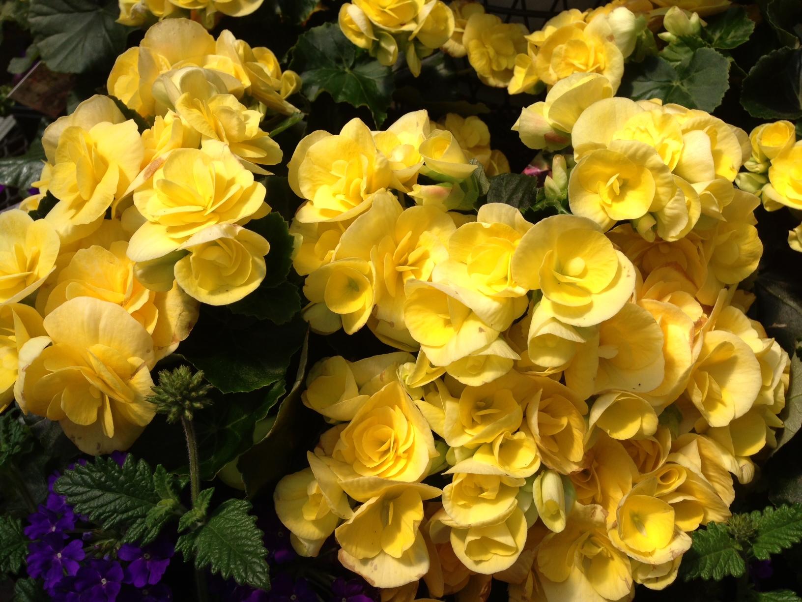 begonia amarela