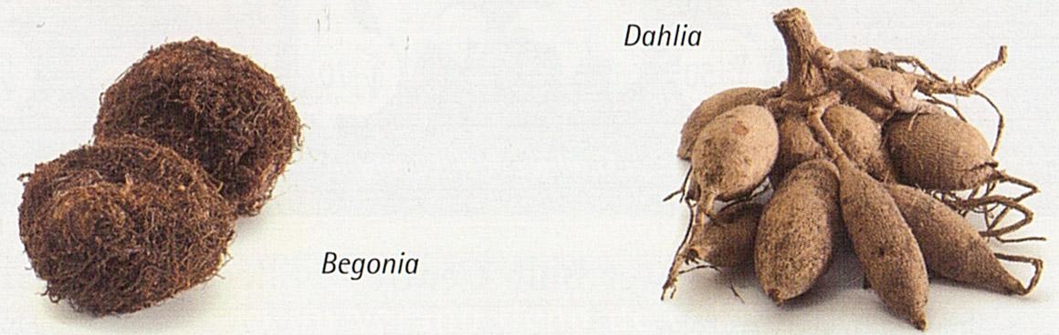 begonia - dalia