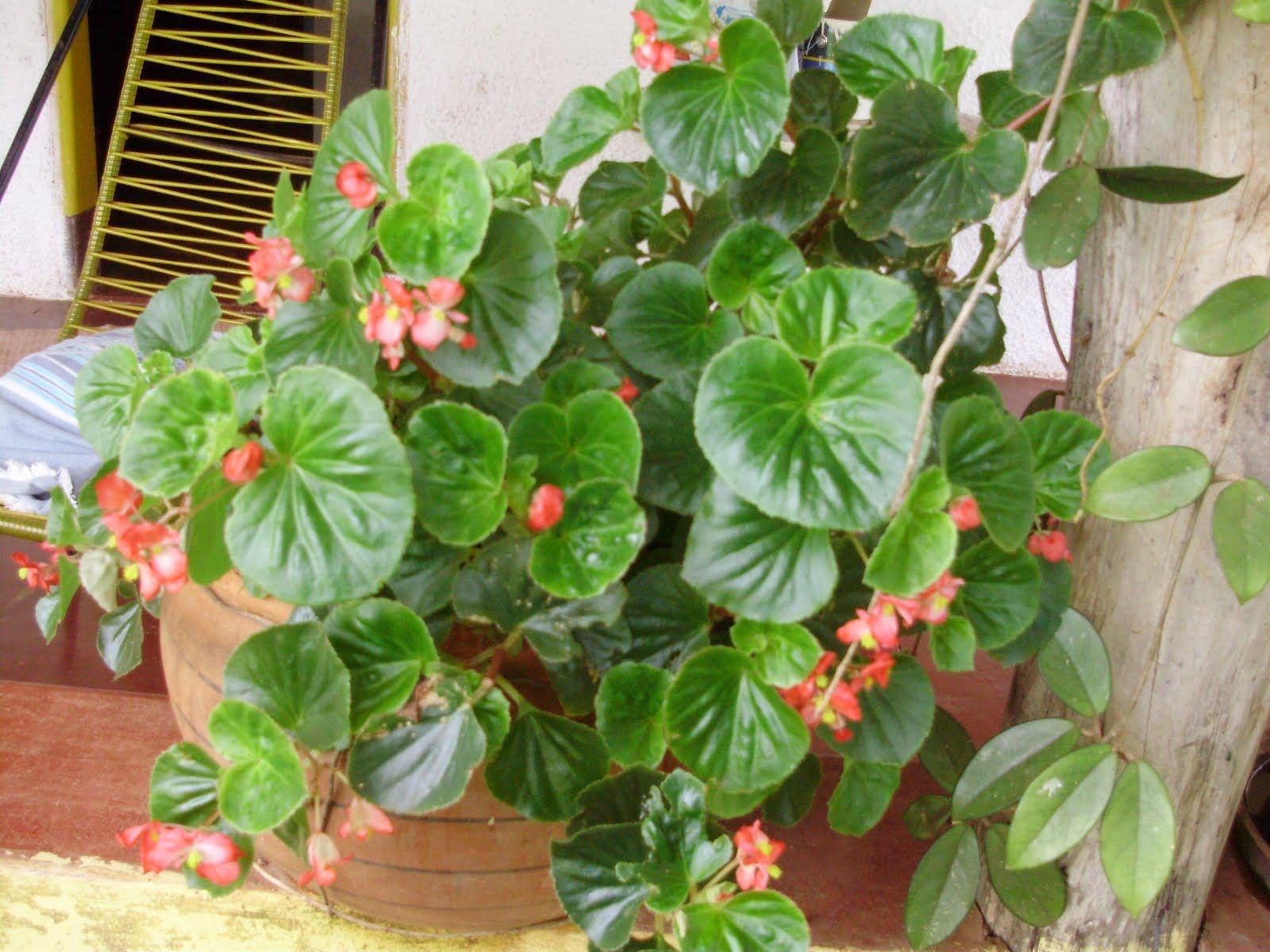 begonia linda