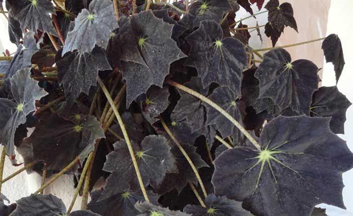 begonia negra