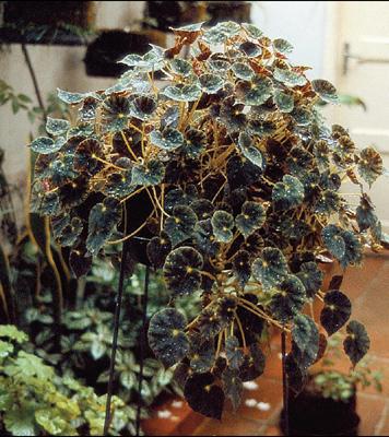 begonia-preta