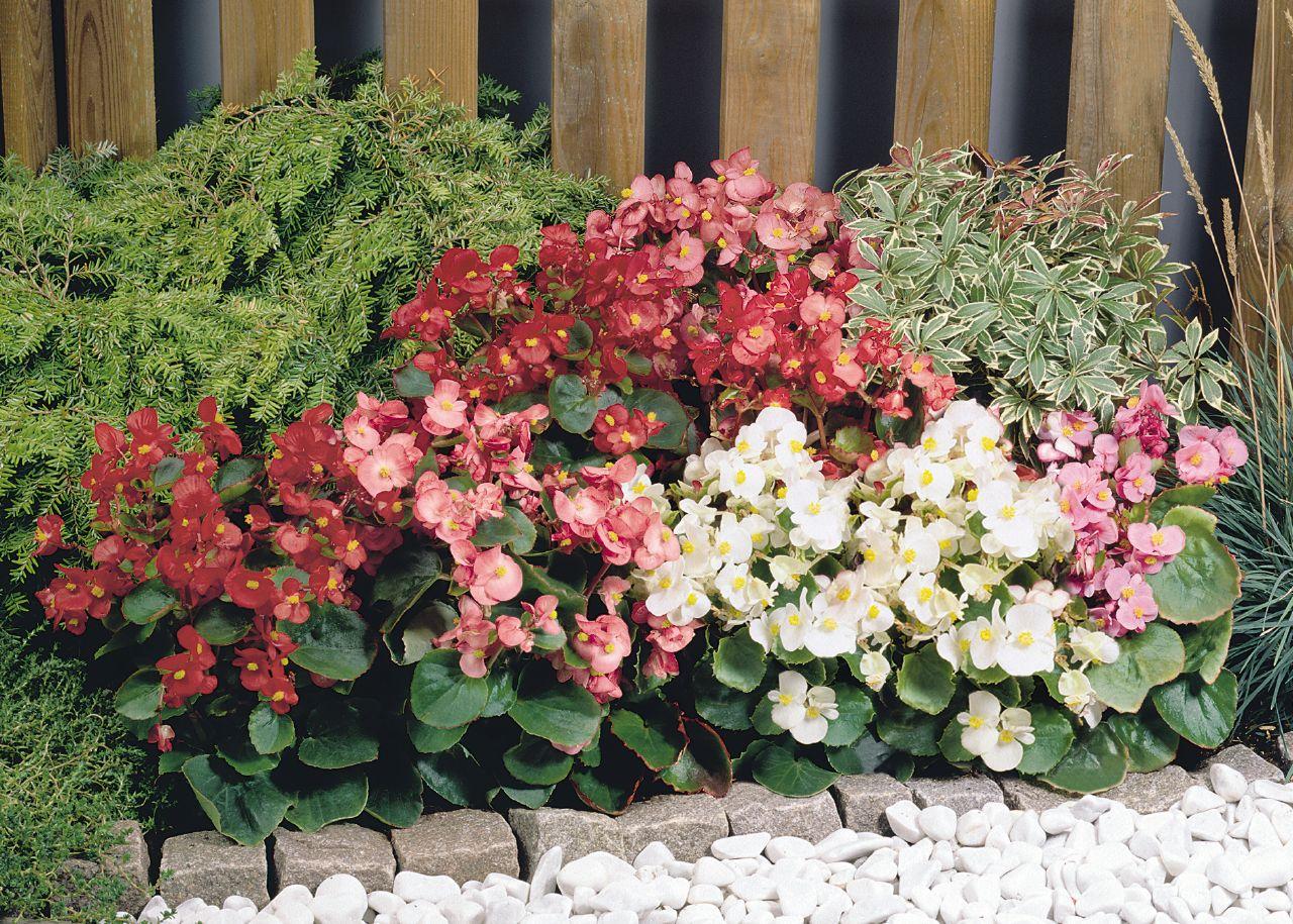 beg nia begonia semperflorens plantasonya o seu blog sobre cultivo de plantas e flores. Black Bedroom Furniture Sets. Home Design Ideas