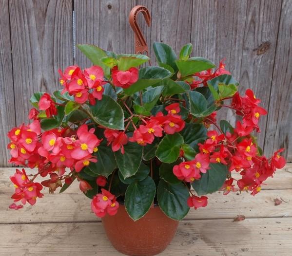begonia-vaso