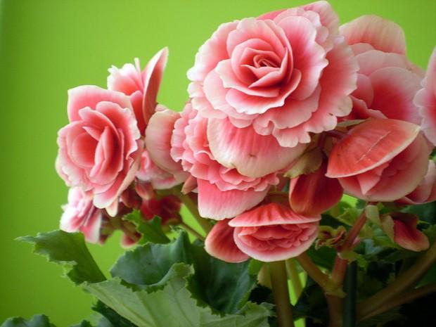begonias1-