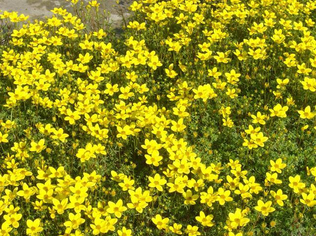 bidens sulphurea (Small)