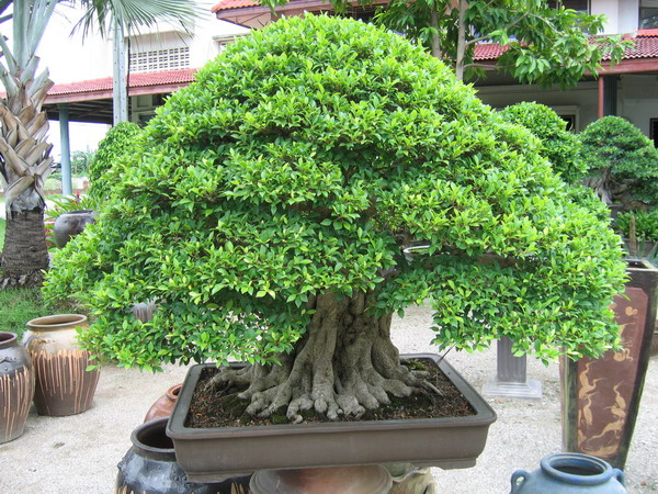 bonsai-