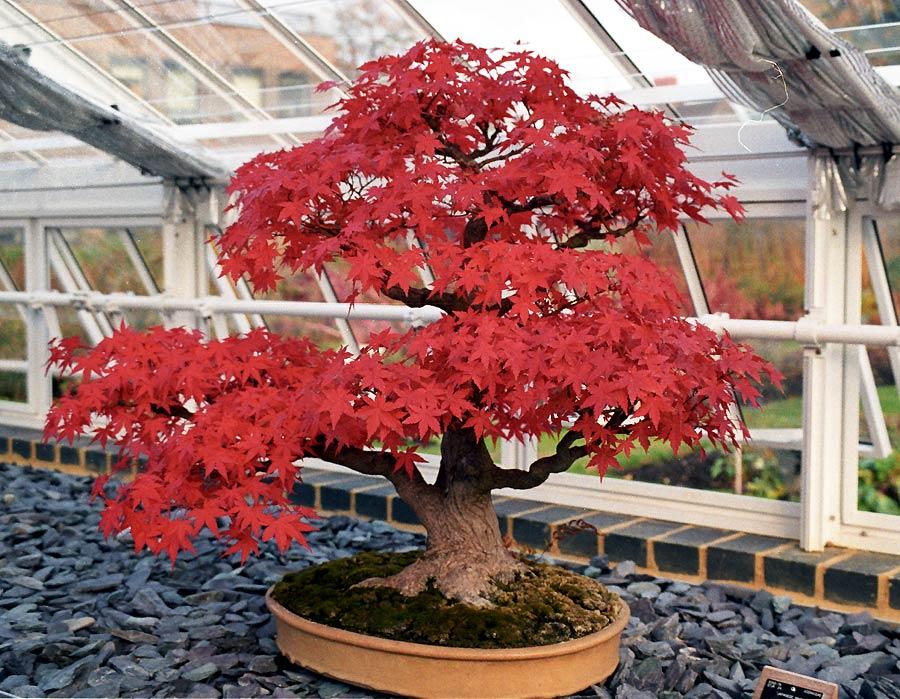 bonsai-acer-burgerianum