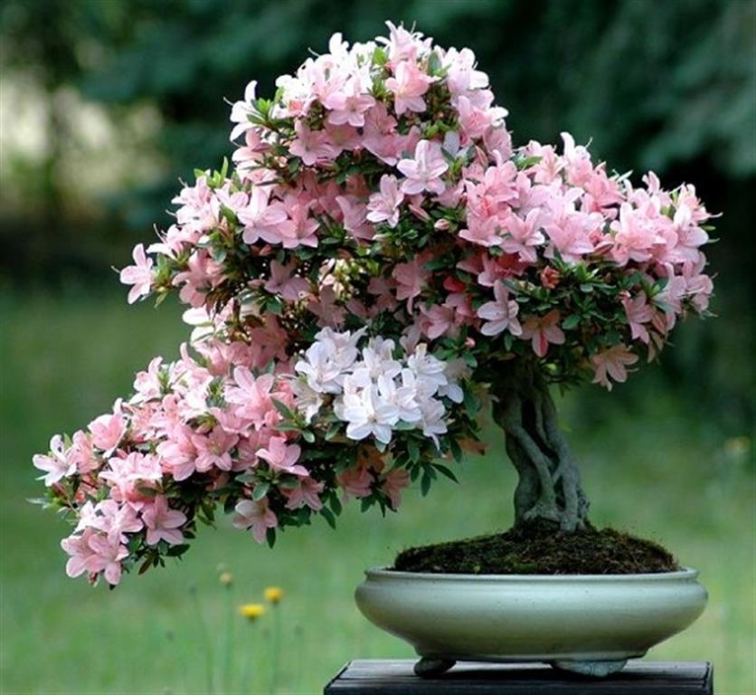 bonsai azaleia