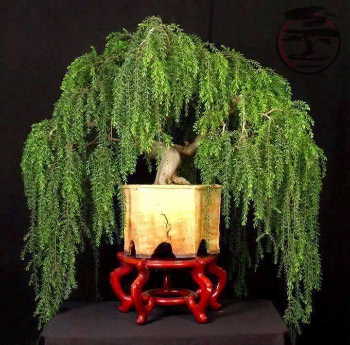 bonsai-chorao
