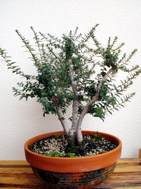 bonsai-de-murta