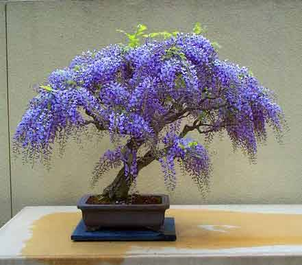 bonsai glicínia