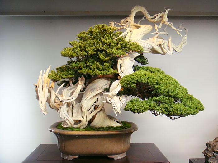bonsai-junipeiro