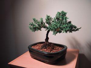 bonsai-podado