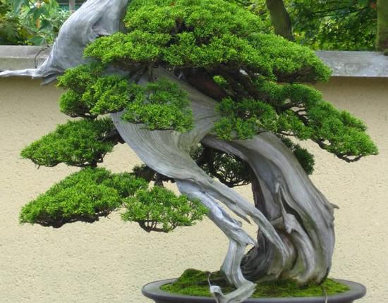 bonsai22