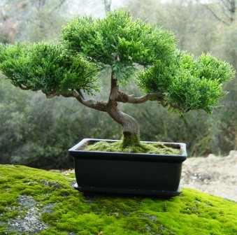 2009 december 18 plantasonya o seu blog sobre cultivo - Cultivo de bonsai ...