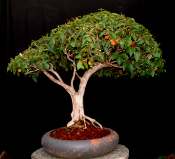bonsaipitanga