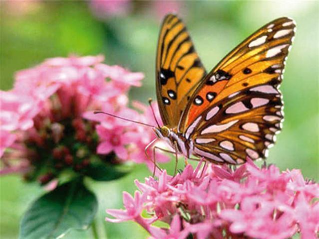 borboleta e flor