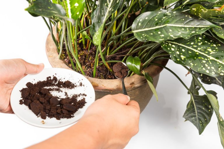 Spent grounded coffee applied onto potted plant as natural ferti