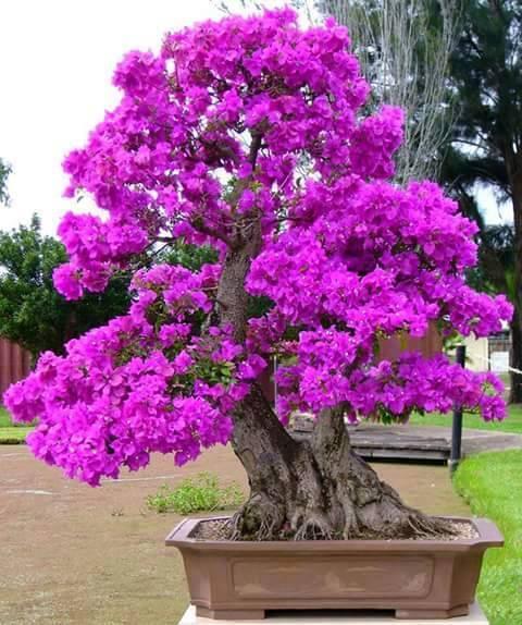 bougainville rosa