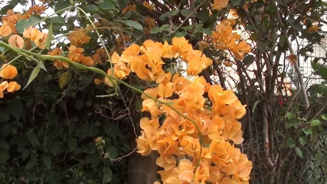 bouganvíllia amarela