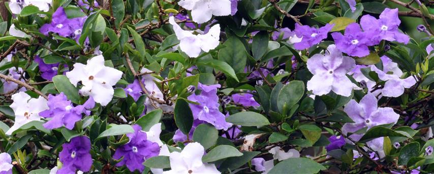 brunfelsia-uniflora