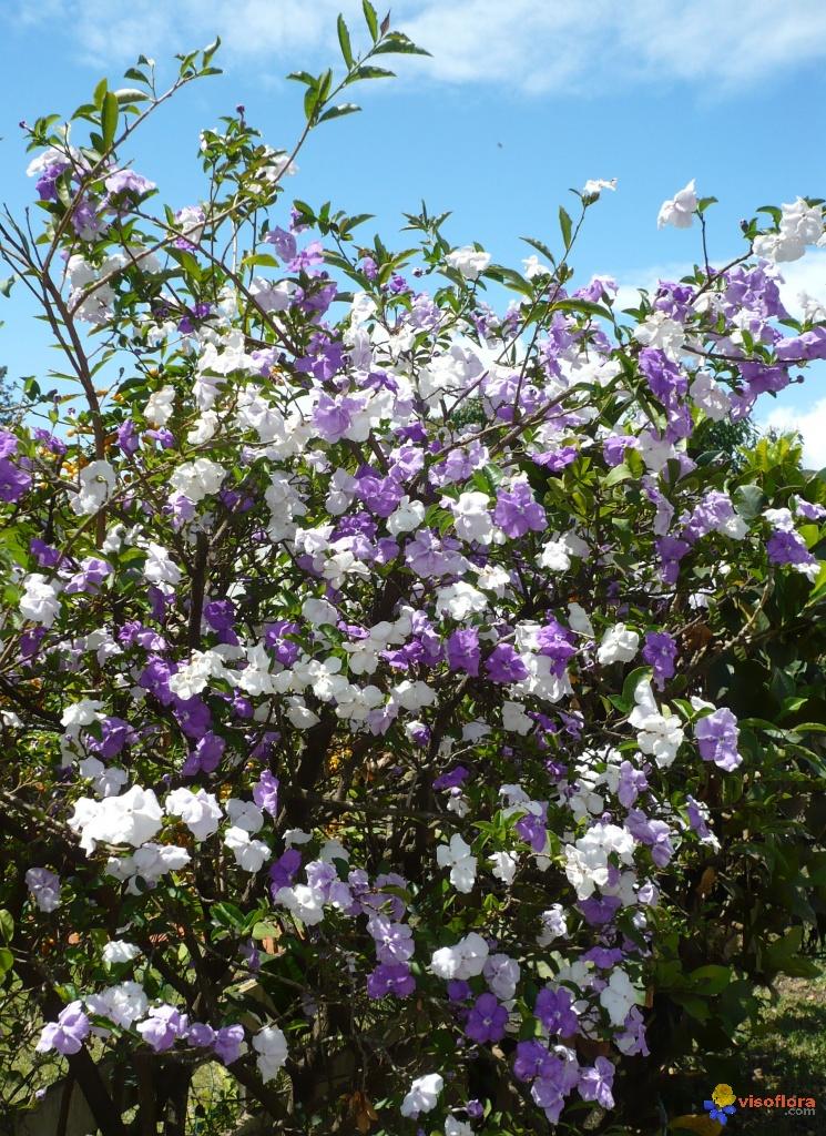 brunfelsia-uniflora-visoflora-6357
