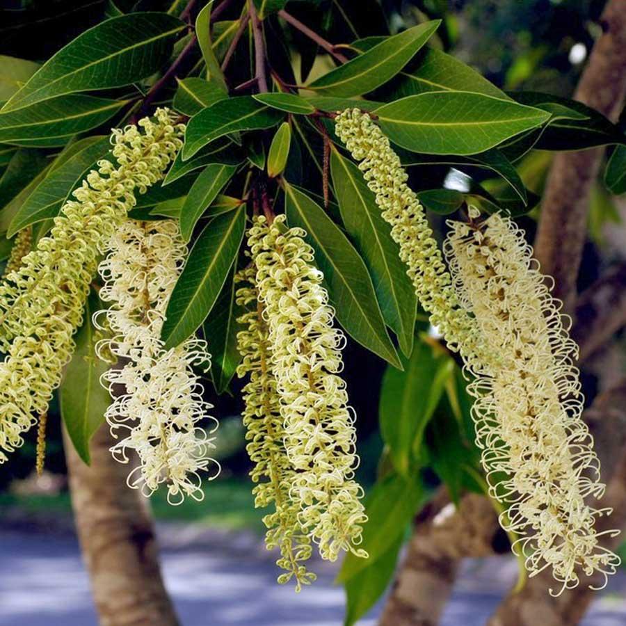 buckinghamia-celissima