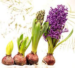 bulbos-de-flores