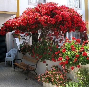 bungavilia