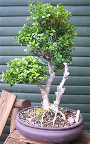 buxus (Small)