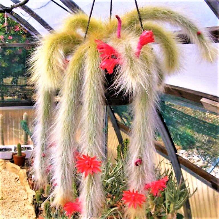 cacti Rabo-de-macaco