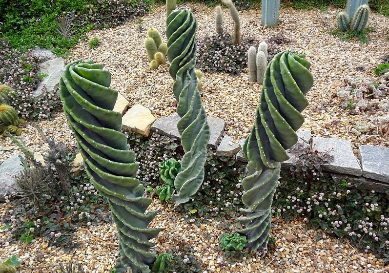 cereus-peruvianus-tortuosus