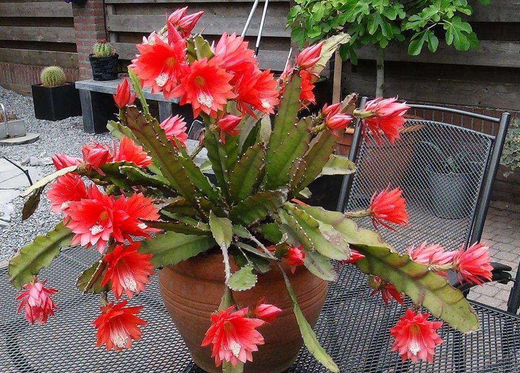cacto-orquídea (Epiphyllum Ackermannii)