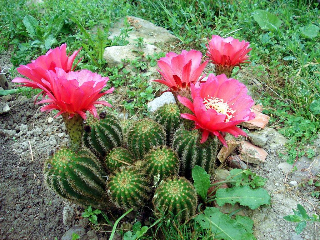 cactus-florido
