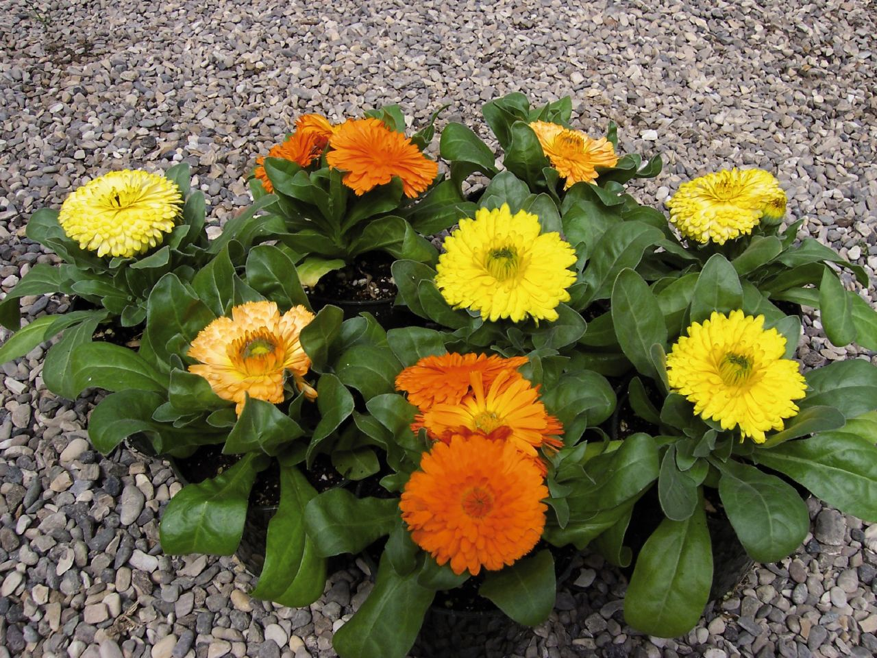 calendula-officinalis-mix4