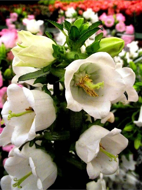 campanula-flor-branca