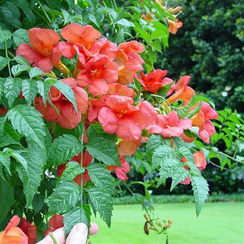 trepadeiras e ornamentais plantasonya o seu blog sobre cultivo de plantas e flores. Black Bedroom Furniture Sets. Home Design Ideas