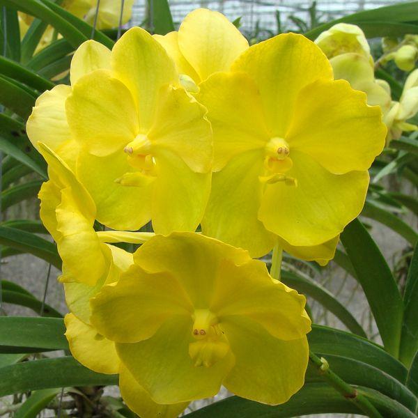 vanda-amarela
