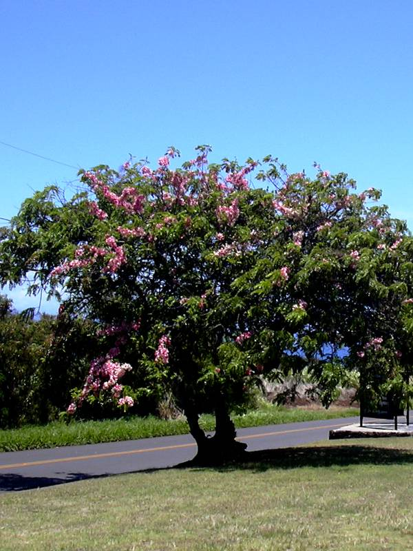cassia-javanica